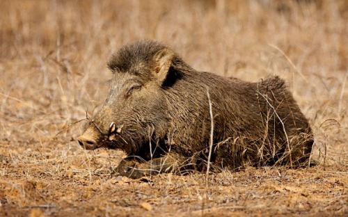 ranthambore-national-park-wild-boar India
