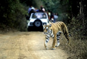 Ranthambore national park tiger safari India
