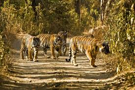 Ranthambore tiger park India