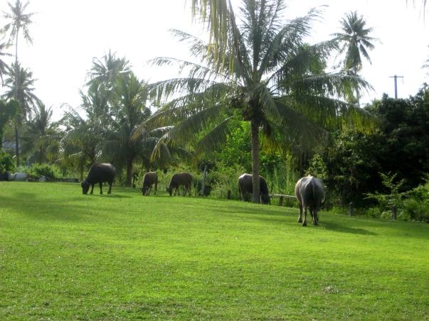 Bike tour Phuket Thailand Mai Khao, water buffalo family Barefoot Luxe