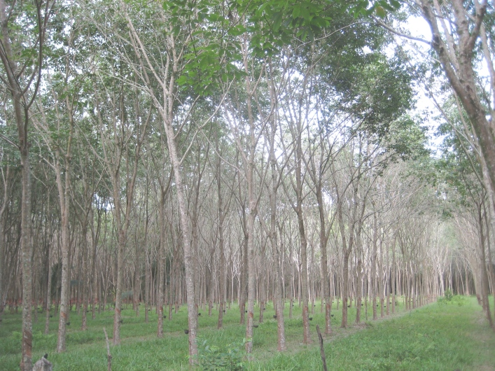 Mai Khao rubber plantation bike tour Phuket Thailand