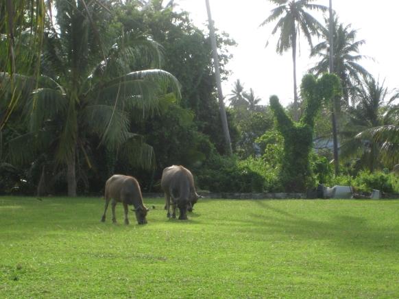 Bike tour Mai Khao, Phuket Thailand, water buffalo family 2 Barefoot Luxe