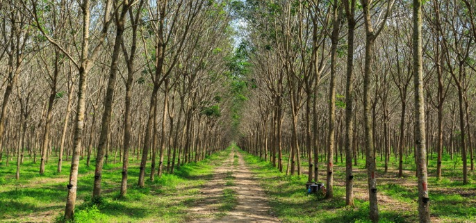 Rubber plantation Phuket Thailand bike tour