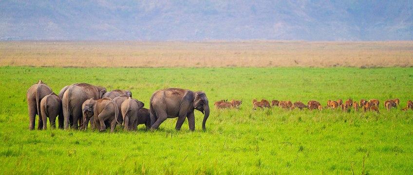 corbett-dhikala-chaur-elephants-chital-spotted-deer2x1 Corbett National Park India, www.BarefootLuxe.net